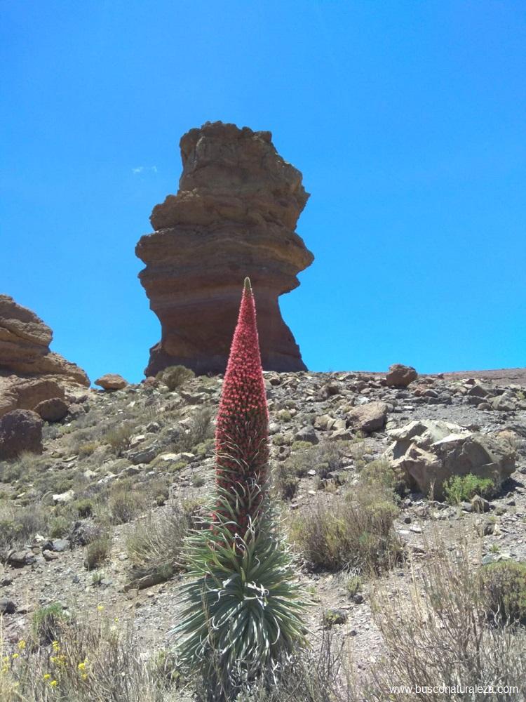 Flor el Teide