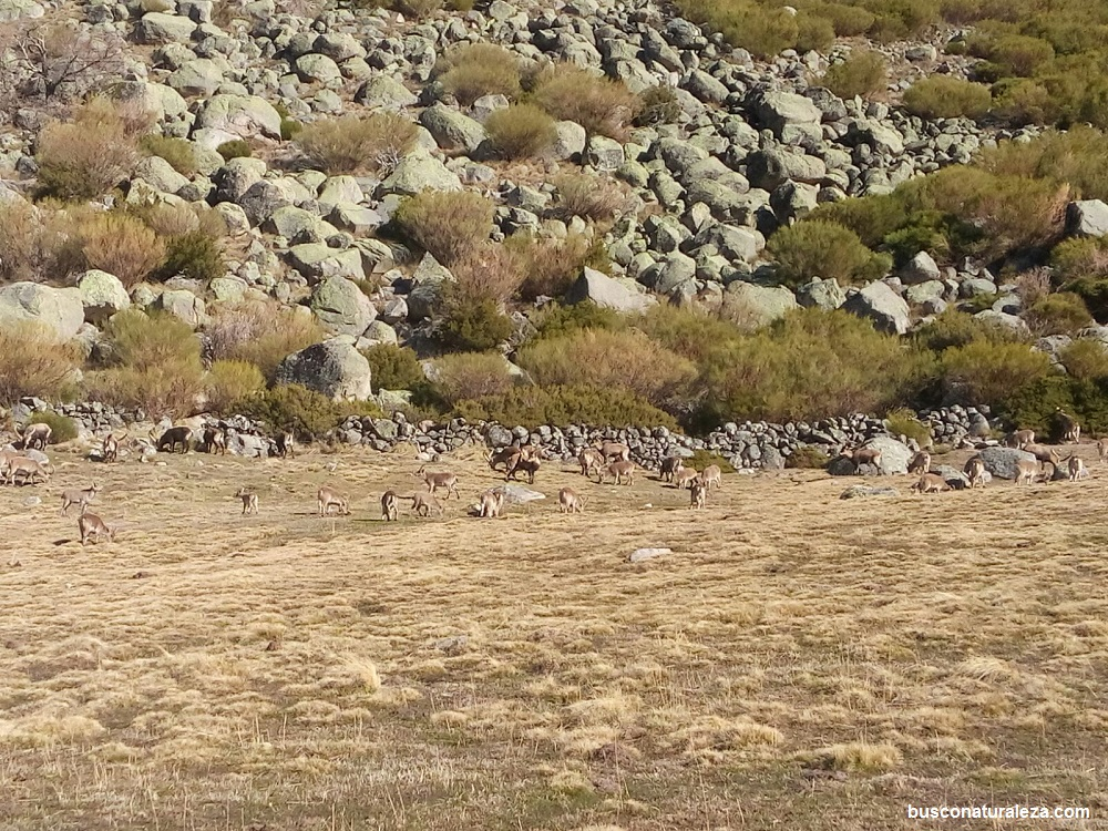 Cabras montesas gredos